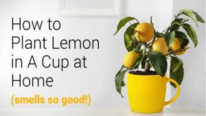 Read more about the article How To Plant Lemon In A Cup At Home (Smells So Good!)